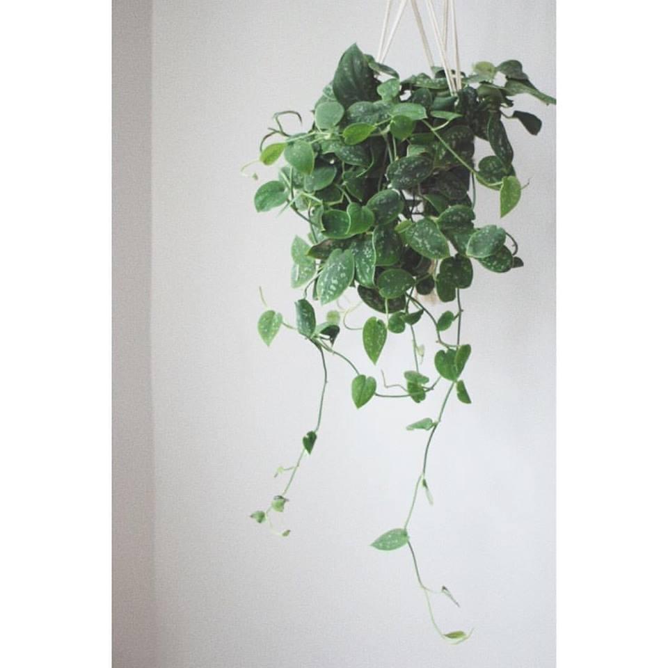 scindapsus pictus projekt rosliny