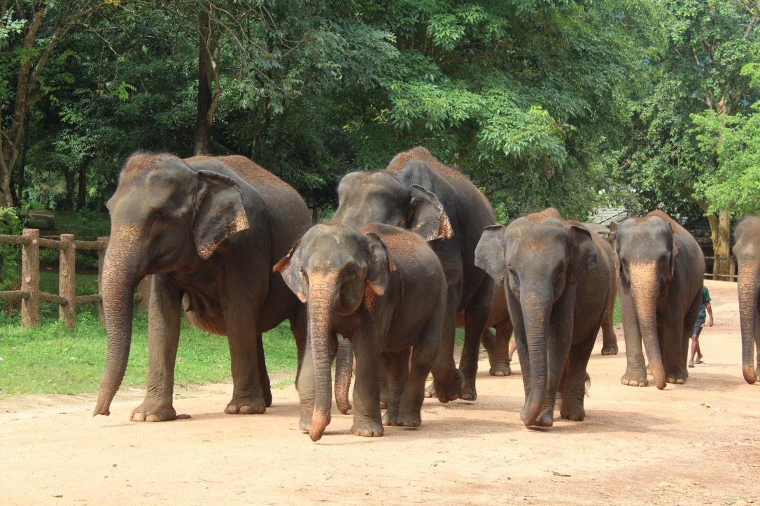sri lanka słonie